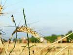 Agricoltura_Grano4.jpg