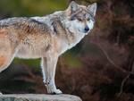 Venerdì 17 ottobre si terrà una serata dedicata al lupo