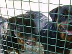 I due rottweiler ora in buone condizioni al canile