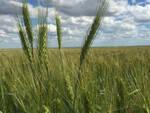 Alto livello qualitativo del grano