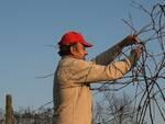 Un lavoratore agricolo impegnato nella potatura (foto d'archivio)