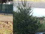 Pino e Mugo, gli abeti di Natale donati e piantati a Roncalceci