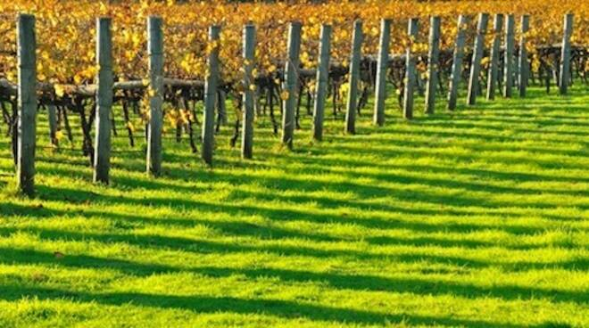 Le viti sono tra le produzioni più rilevanti delle CAB ravennati che conducono il 10% della superficie agricola utile