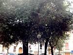 I lecci di piazza Savonarola a Lugo