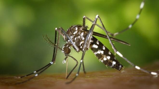 Nella foto la zanzara tigre