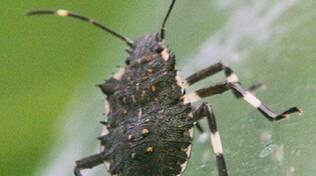 La cimice asiatica (Foto da www.halyomorpha-halys.it)