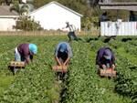 I fenomeni di sfruttamento del lavoro agricolo in Romagna affrontate in Regione (foto d'archivio)