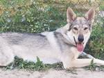 Lucy, femmina di lupo cecoslovacco, morta a causa di bocconi avvelenati