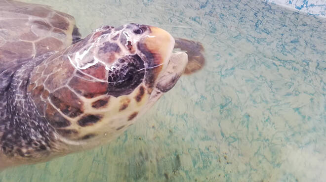 Uno scatto della tartaruga che verrà rilasciata in mare
