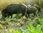 cinghiali danni agricoltura