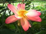 parco del loto fiorito lugo