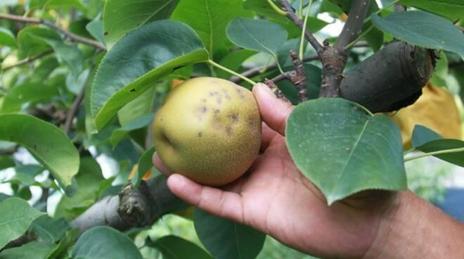 frutteti rovinati - cimice asiatica