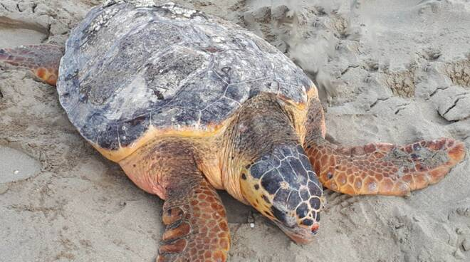 Salvata tartaruga marina di mezzo quintale