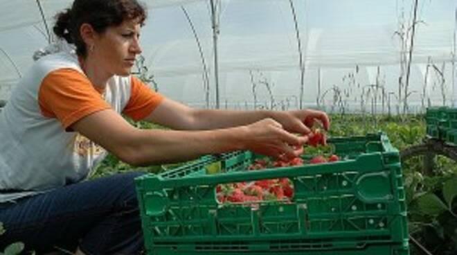 raccolta frutta agricoltura