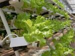colture idroponiche