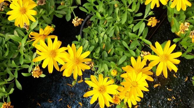 fiori - vivai Abbondanza Montaletto