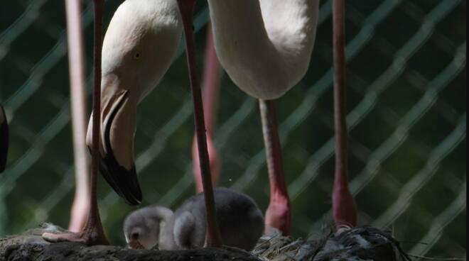 Al Villaggio delle Cicogne di Fosso Ghiaia sono nati i piccoli fenicotteri