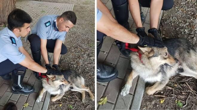 Vagava impaurito per le campagne: lupocecoslovacco salvato dalla Polizia Locale