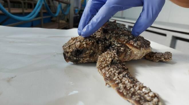 Piccolissima tartaruga salvata dai biologi di CESTHA Ravenna: ora è in cura