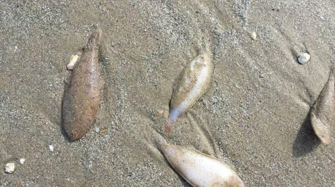 Moria di pesci sulle coste del ravennate, Arpae