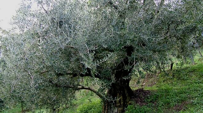 ulivo secolare - Brisighella