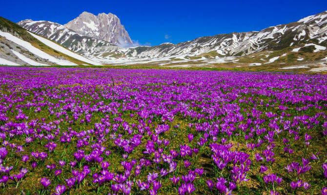 La fioritura del Craco a Campo Imperatore in Abruzzo