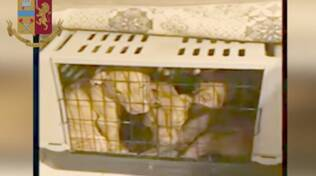 pitbull - commercio illegale Rimini