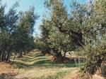Ulivo-colline di Brisighella