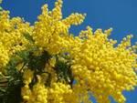 8 marzo - mimosa