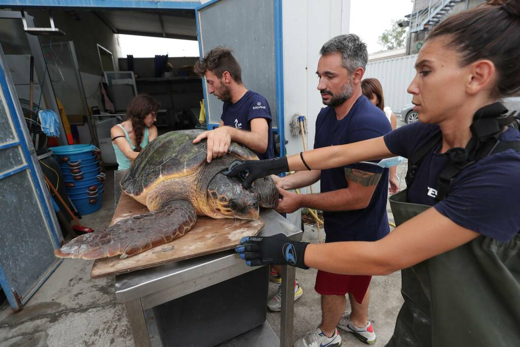 Godzilla, la tartaruga più grande mai curata dal Centro Ricerchedi Marina di Ravenna