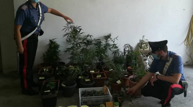 piantagione di marjuana
