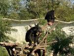 safari ravenna scimpanzè