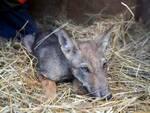 cucciolo di lupo recuperato a lido di dante