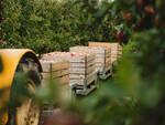 raccolta mele agricoltura