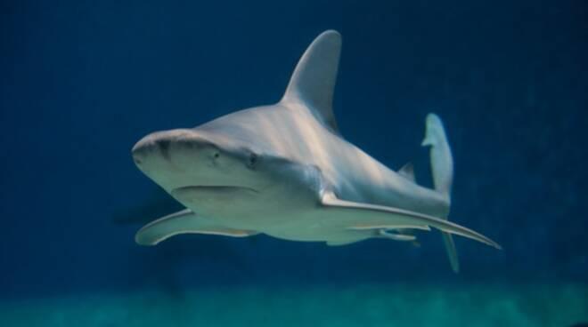 squalo grigio foto ANSA